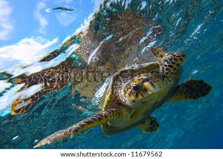 peery looking turtle - stock photo