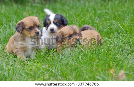 Pekinese puppy dog sitting on grass