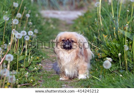 Pekingese dog - stock photo