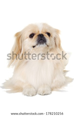 Pekingese dog is resting on a white background - stock photo