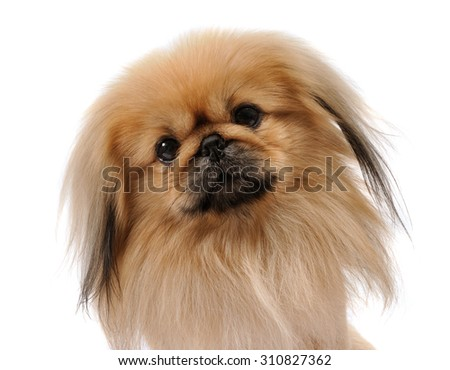 Pekingese dog portrait  looks at  the camera, isolated on white background - stock photo