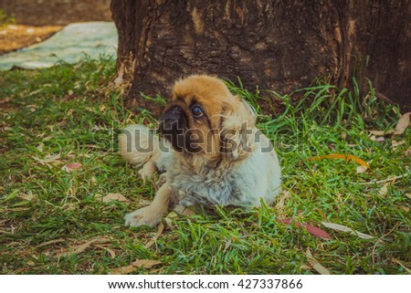 Pekingese dog resting on a grass under a tree outdoor. - stock photo