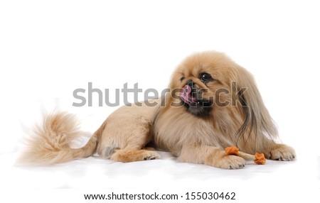 Pekingese dog with snack bone in studio, isolated on white background , - stock photo