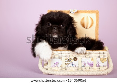 Pekingese puppy lying in basket on lilac pink background