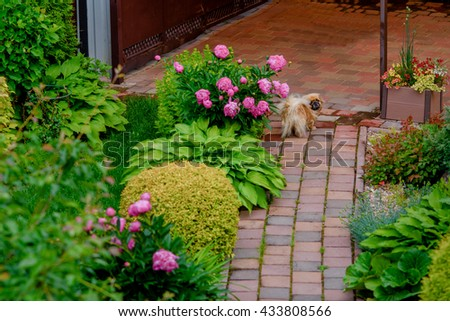 Pekingese runs on a paved path in the lush garden - stock photo