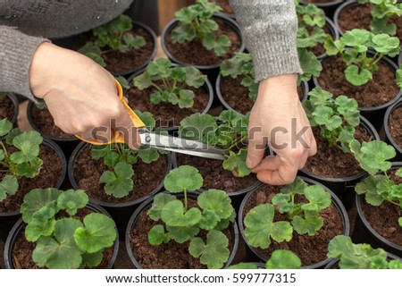 Pelargonium, geranium, or storksbill seedlings in plant pots in greenhouse. Cutting defected leaves and taking care of plants.