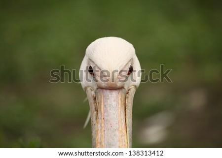 Pelecanus onocrotalus - stock photo