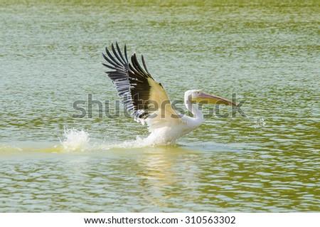 Pelecanus pelecanedae is a big water bird - stock photo