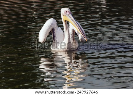 Pelican about to fly. A beautiful pelican raises its wings ready for take off. - stock photo