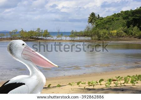Pelican at Port Douglas shore front - stock photo