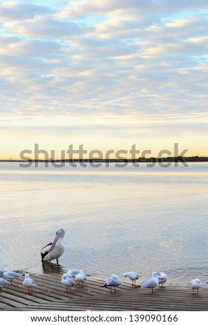 pelican at sunrise Brisbane. fast shutter with extended f22 depth of field - stock photo