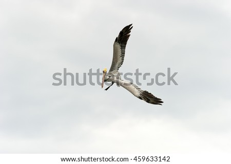 Pelican captured during flight spreading its wings.