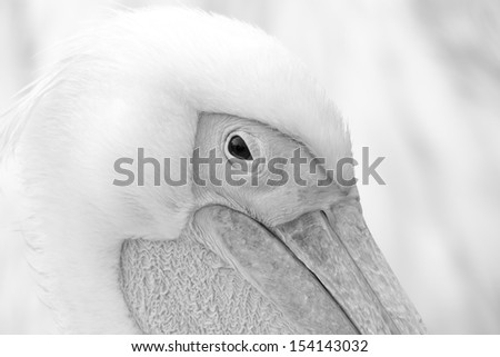 Pelican close up in black and white - stock photo