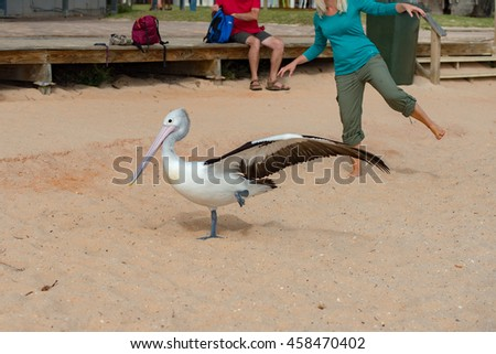 Pelican close up portrait on the beach in Australia while standing on one feet - stock photo