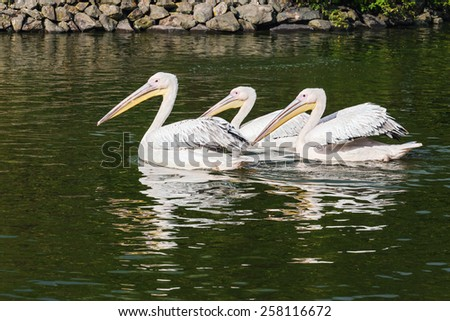 Pelican coasting along. Three magnificent penguins are seen swimming along together. - stock photo