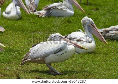 Pelican colony. - stock photo