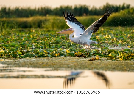 Pelican flying over water at sunset in the Danube Delta