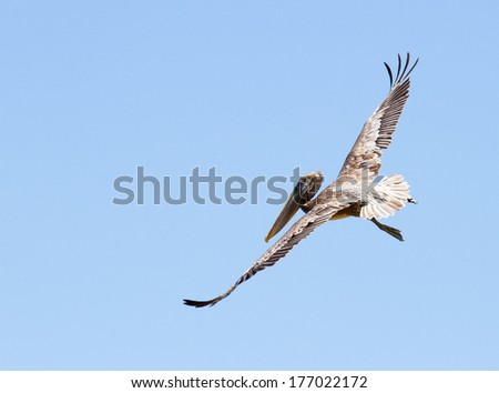 pelican flying with a blue sky background