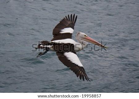 Pelican in flight - stock photo
