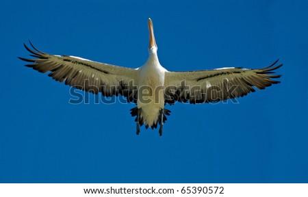 Pelican in flight 1 - stock photo