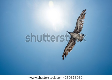 Pelican in flight against blue sky - stock photo