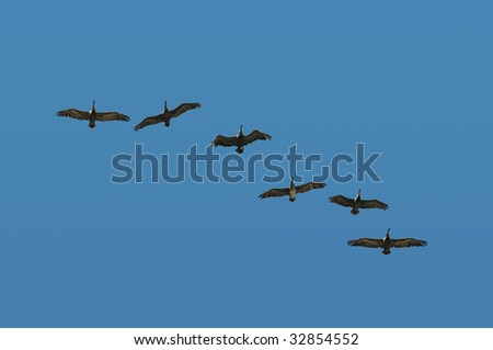 Pelican in flight and in formation on a blue sky