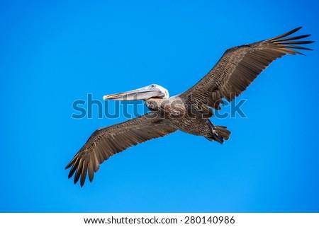 Pelican in flight in the Galapagos Island in Ecuador - stock photo