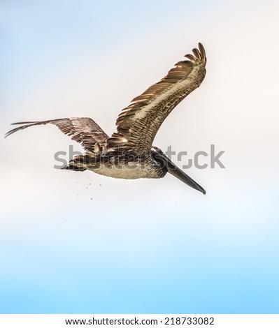 Pelican in flight on Clearwater Beach, Florida. / Pelican in Flight - stock photo