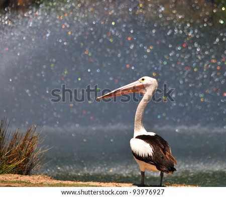 Pelican in front of water fountain at park