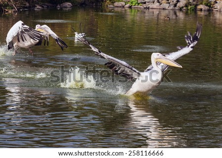 Pelican landing. A beautiful pelican lands on the surface of a lake whilst pursued by another one. - stock photo