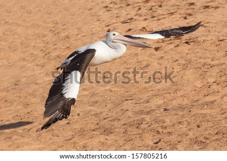 Pelican landing with outstretched wings - stock photo