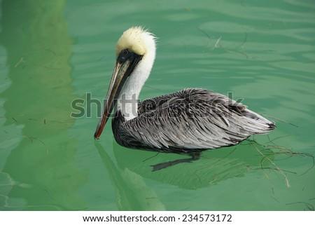 Pelican on a beautiful green sea, Florida - stock photo
