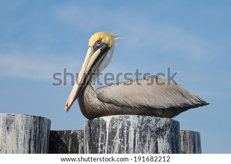 Pelican on a perch. Pelican perched on top of a boat tie off against a blue sky.   - stock photo