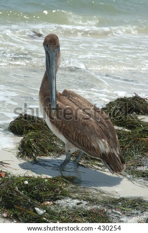 Pelican on beach - stock photo