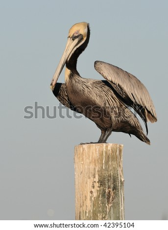 Pelican on post raised wing - stock photo