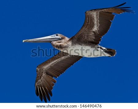 Pelican (pelecanidae) in flight against blue sky - stock photo