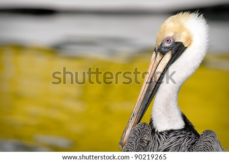 Pelican Portrait Close Up with Ocean in Background - stock photo