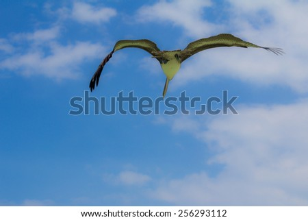 Pelican soaring in sky viewed from below, Mexico - stock photo