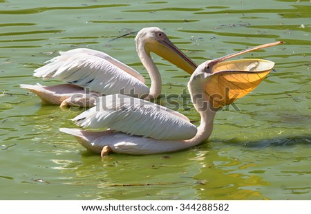 Pelican swallows fish while swimming in lake - stock photo