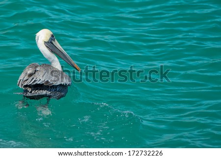 Pelican while swiiming in the blue baja california sea - stock photo