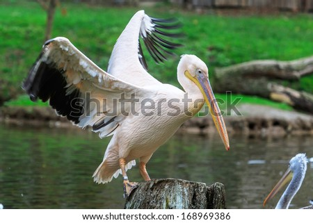 pelican with open wide wings - stock photo
