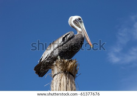 Pelican with the sky as background at Cancun, Mexico