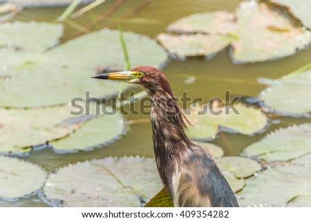 Pelicans are large water birds with long necks and legs. Often found wandering food or water standing on the grass or plants. I used to catch small mouth, long pointed or insects. - stock photo