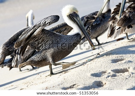 Pelicans are walking on a Caribbean sea shore - stock photo