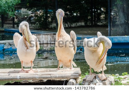 Pelicans Cleaning - stock photo