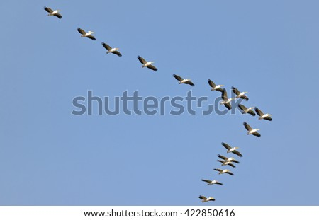 Pelicans flying against the blue sky - stock photo