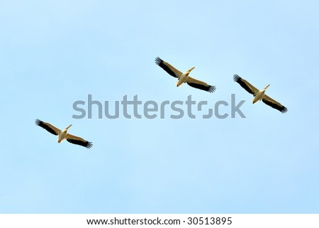 pelicans flying against the blue sky (pelecanus onocrotalus) - stock photo