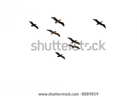 Pelicans flying against the white background(isolated).