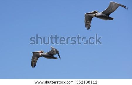 Pelicans flying on the coastline of La Jolla California - stock photo