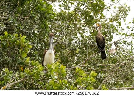 Pelicans in biosfera Celestun on the Yucatan, Mexico - stock photo